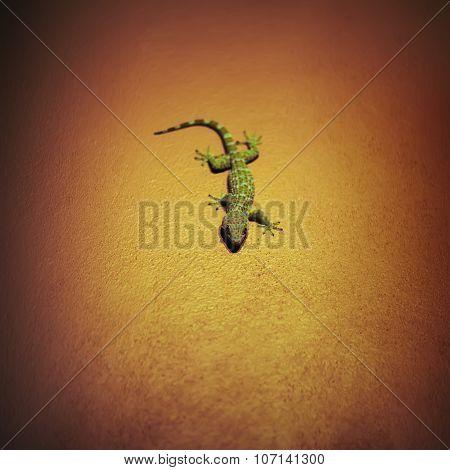 Tokay Gecko On Wall