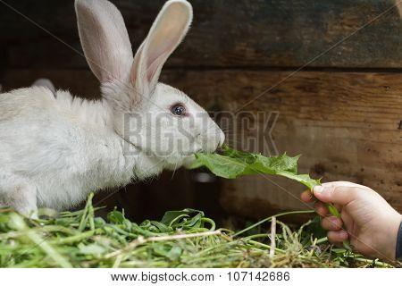 Farm Domestic Rabbit Sniffing A Fresh Dandelion Leaf From Child Arm