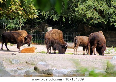 The Image Of A Herd Of Bison