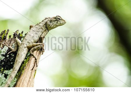 Calotes Emma Alticristatus Is Spcies Name Of Reptile