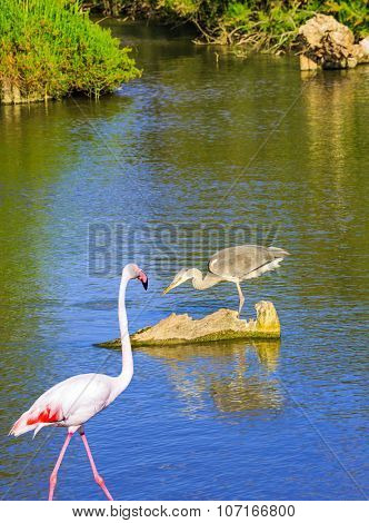 Grey Heron and pink flamingo in delta of the Rhone. Sunset in the national park of Camargue, Provence