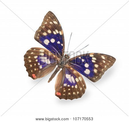 Beige and blue butterfly isolated on white