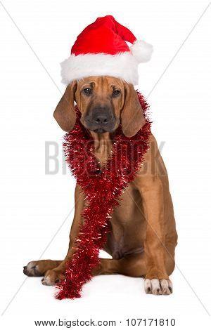 rhodesian ridgeback puppy in a santa hat