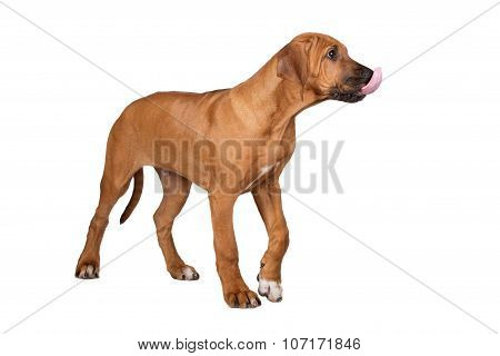 ridgeback puppy standing on white