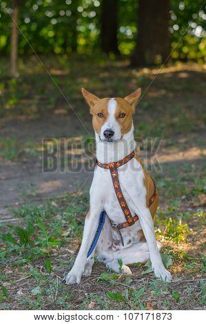 Brave Basenji dog sitting on the ground