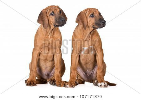 two rhodesian ridgeback puppies on white
