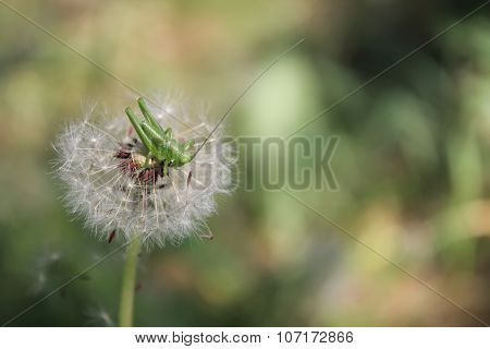 Close up of a grasshopper sits on a dandelion