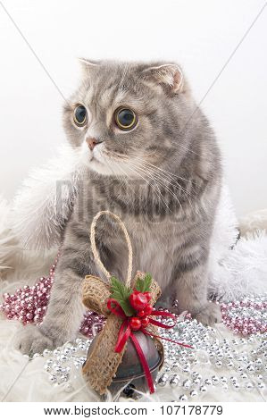 Scottish Fold Cat Breed With Christmas Toys..