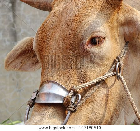Closeup Of An Ox With Harness