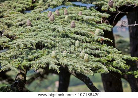 Young Shoots Of Pine Trees In The Spring Forest