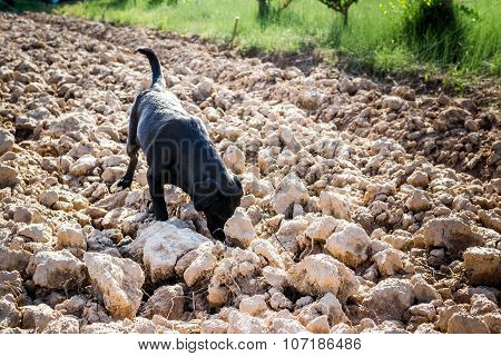 Black Labrador Dog On Plowed Field Sniffing