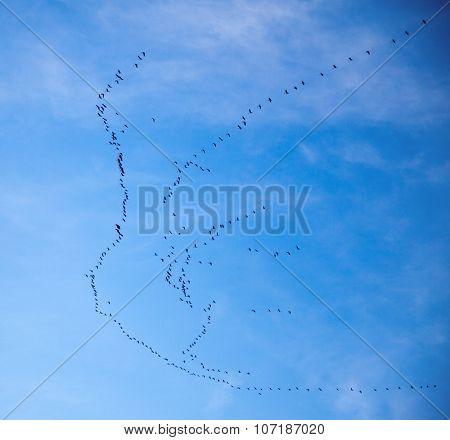 HUge group of cranes in formation flight