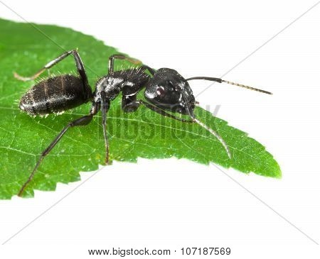 Ant On Green Leaf Tip