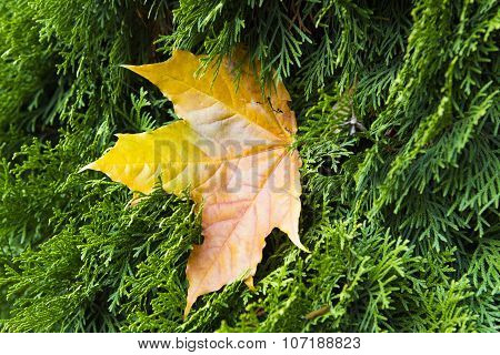 Autumn. Maple Yellow Leaves On The Background Of Green Needles Of Arborvitae.