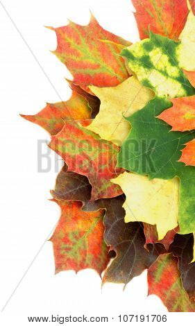 Heap Of Maple Leafs