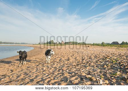 Cows On The Sandy Beach Of A River