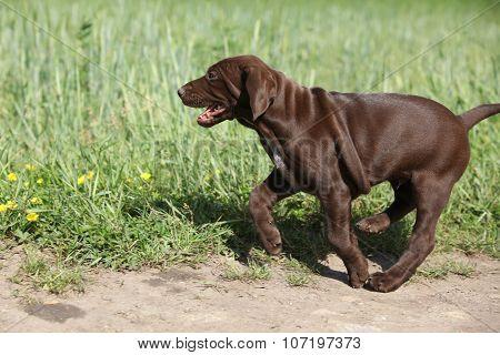 Puppy Of German Shorthaired Pointer Running