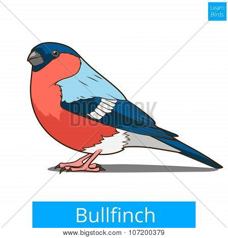 Bullfinch learn birds educational game vector