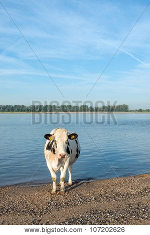 Cow Standing On The Sandy River Beach