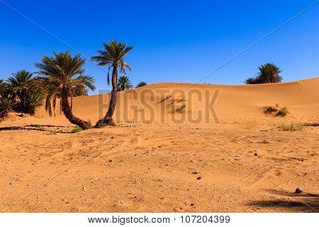 palm in the  desert