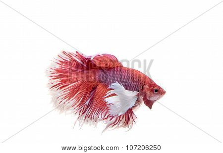 Red Siamese Fighting Fish, Betta Fish Isolated On White Background.