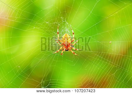 Cross Spider Sitting On Web
