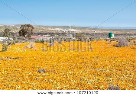 An Eye Blinding Sea Of Orange Wild Flowers