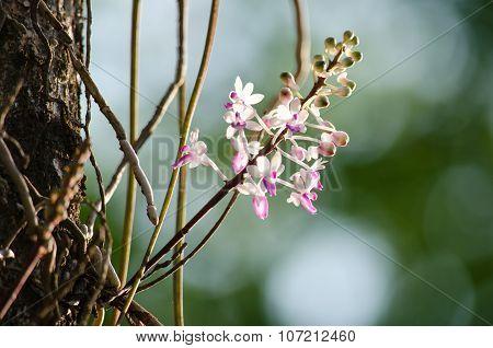 Seidenfadenia Mitrata Is Native To Thailand And To Myanmar Burma