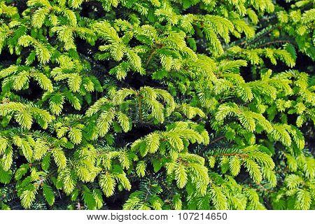 Spruce dwarf (Picea abies Tabuliformis)