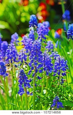 Muscari, or murine hyacinth or Muscari (Latin Muscari)