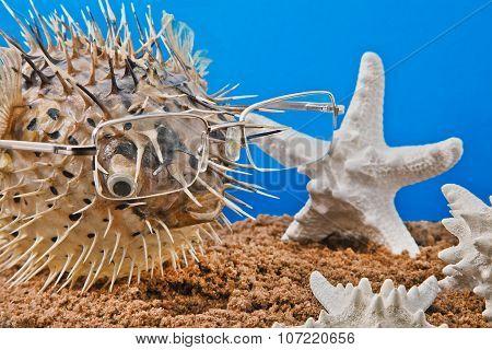sea hedgehog fish with sea stars