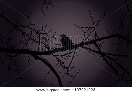 Raven On A Branch At Night In Forest