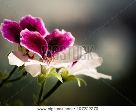 Macro photography of Pelargonium Geranium