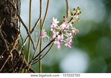 Seidenfadenia Mitrata Is Native To Thailand And To Myanmar Burma
