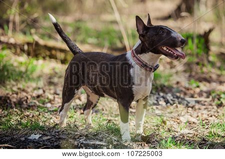 Dog Breed Pit Bull Terrier