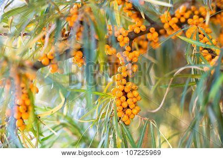 See-buckthorn Berries