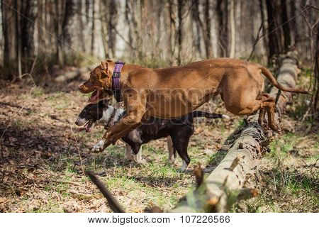 Dog Breed American Pit Bull Terrier And Bull Terrier