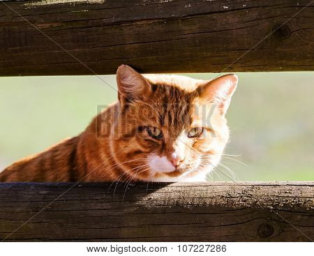 Red Cat Portrait In Outdoor Scene