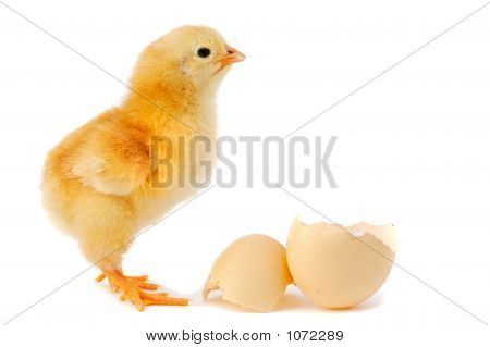 Adorable Baby Chick