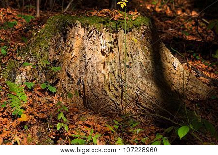 Old Tree Stump In The Undergrowth