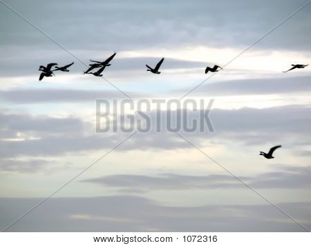 Sky With Flock Of Canada Geese