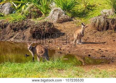 Australian Kangaroos in Pebbly Beach