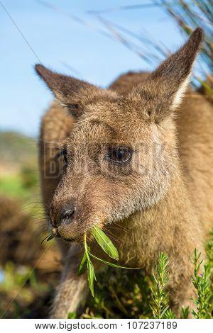 Australian Kangaroo eating