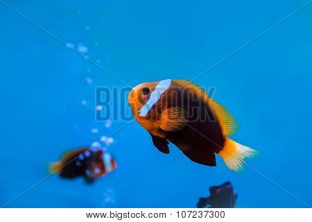 Anemonefish Underwater In Blue Water At Aquarium