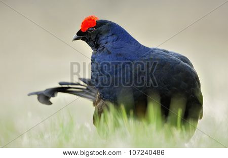 Portrait Of A Lekking Black Grouse (tetrao Tetrix)