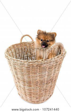 Pomeranian Dog Stading In Basket Isolated Background