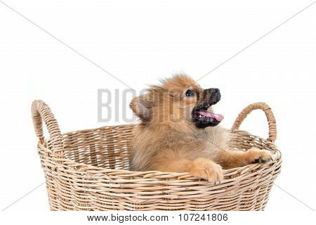 Pomeranian Dog Stading In Basket Isolated Background