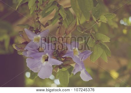 Thunbergia Laurifolia In Vintage Style