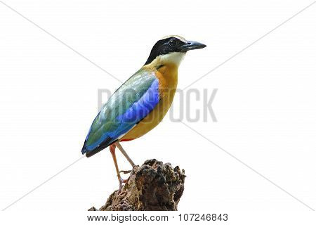 Blue Winged Pitta Pitta Moluccensis Isolated White Background