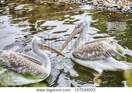 Couple Grey-white Pelican In Nature(pelecanus Erythrohynchos).